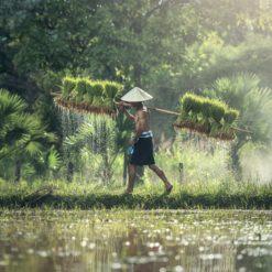 Indonesian rice farmer free photography
