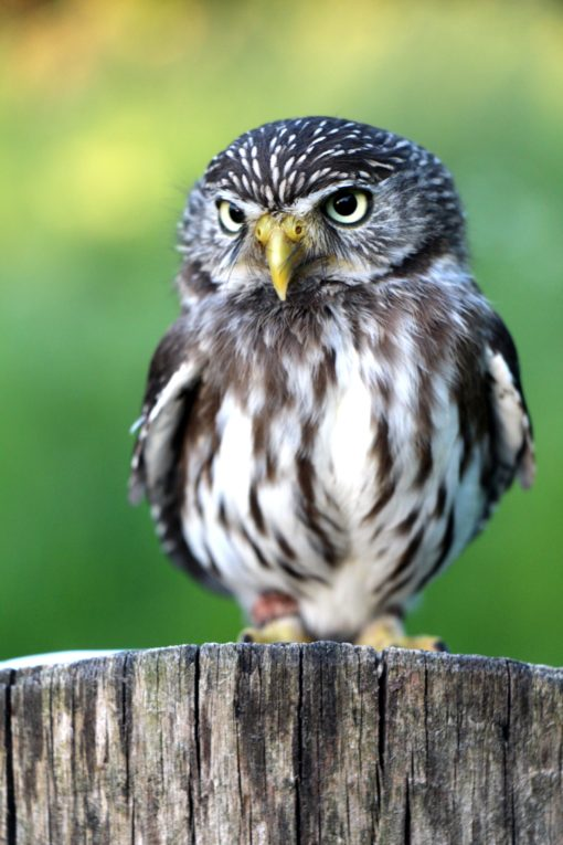 owl baby bird on a tree free photo