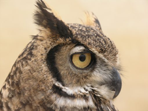 owl head from side free photo