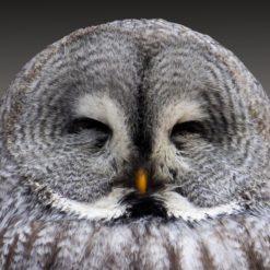 owl smiling free photo